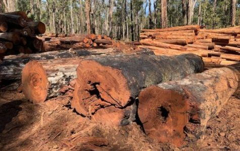 Old-growth logging claims halts chainsaws
