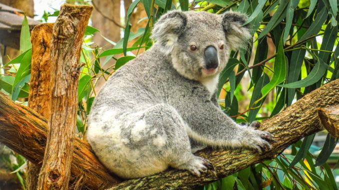 Koala at Port Macquarie Koala Hospital. Photo:  Kevin LEBRE / Getty Images / Royalty-free