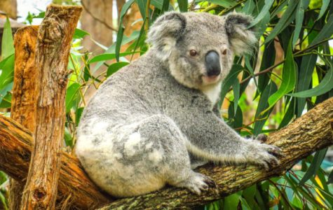 Koala at Port Macquarie Koala Hospital. Photo:  Kevin LEBRE / Getty Images / Royalty-free