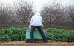 As almond orchards blossom, busy bees get to work