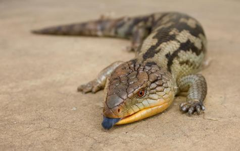 Native lizards have been discovered with rat poison in their livers. Picture credit: JJ Harrison (https://www.jjharrison.com.au/)