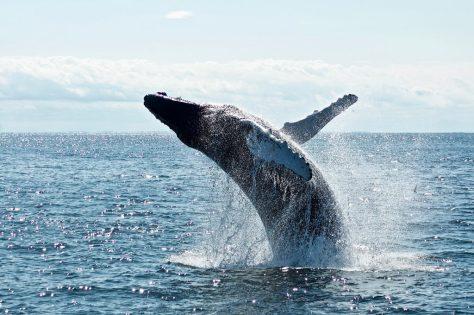 Griffith University researchers examine humpback whale habitat  Photo by Todd Cravens on Unsplash
