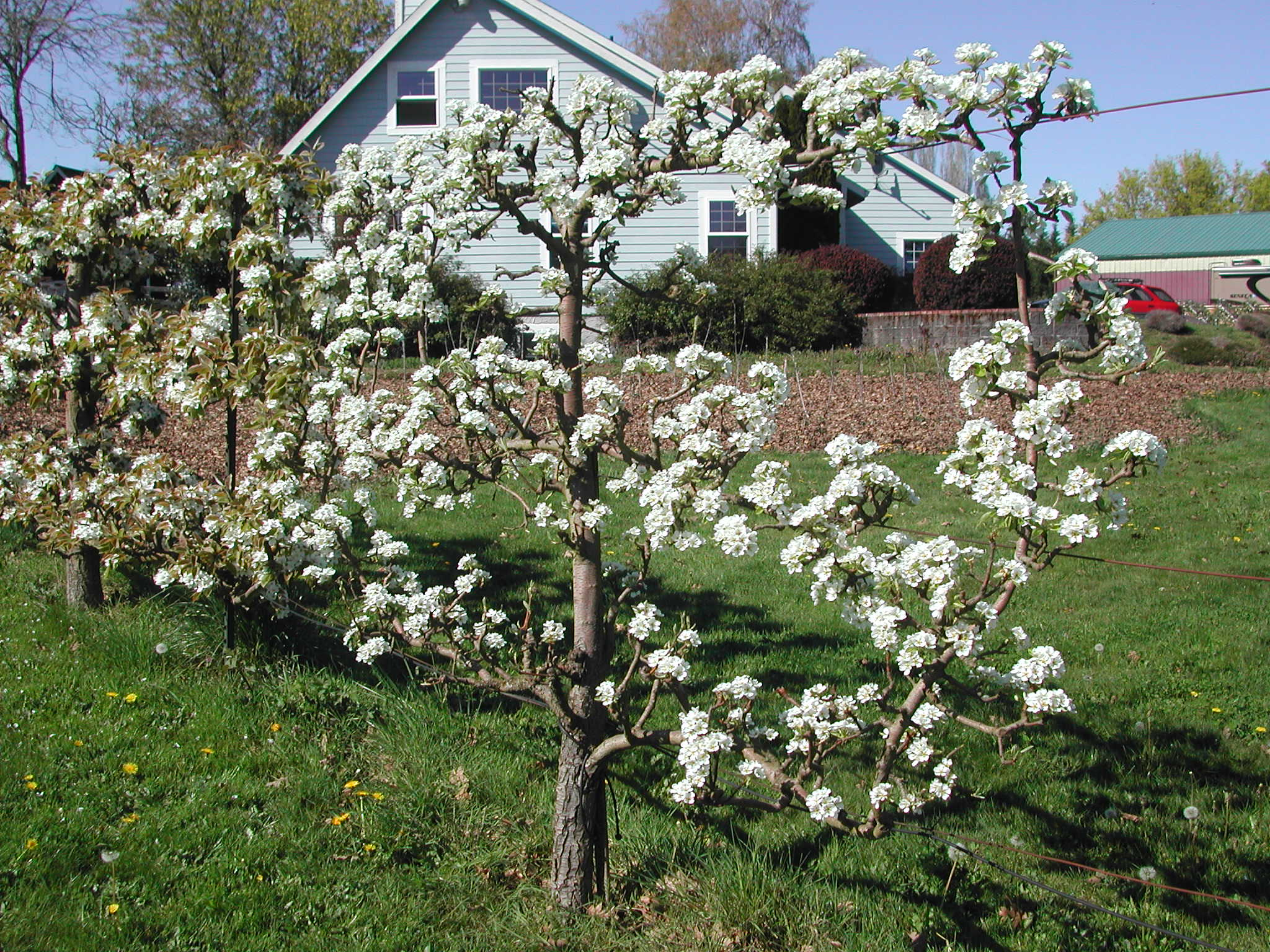 Our largest Asian pear tree in bloom