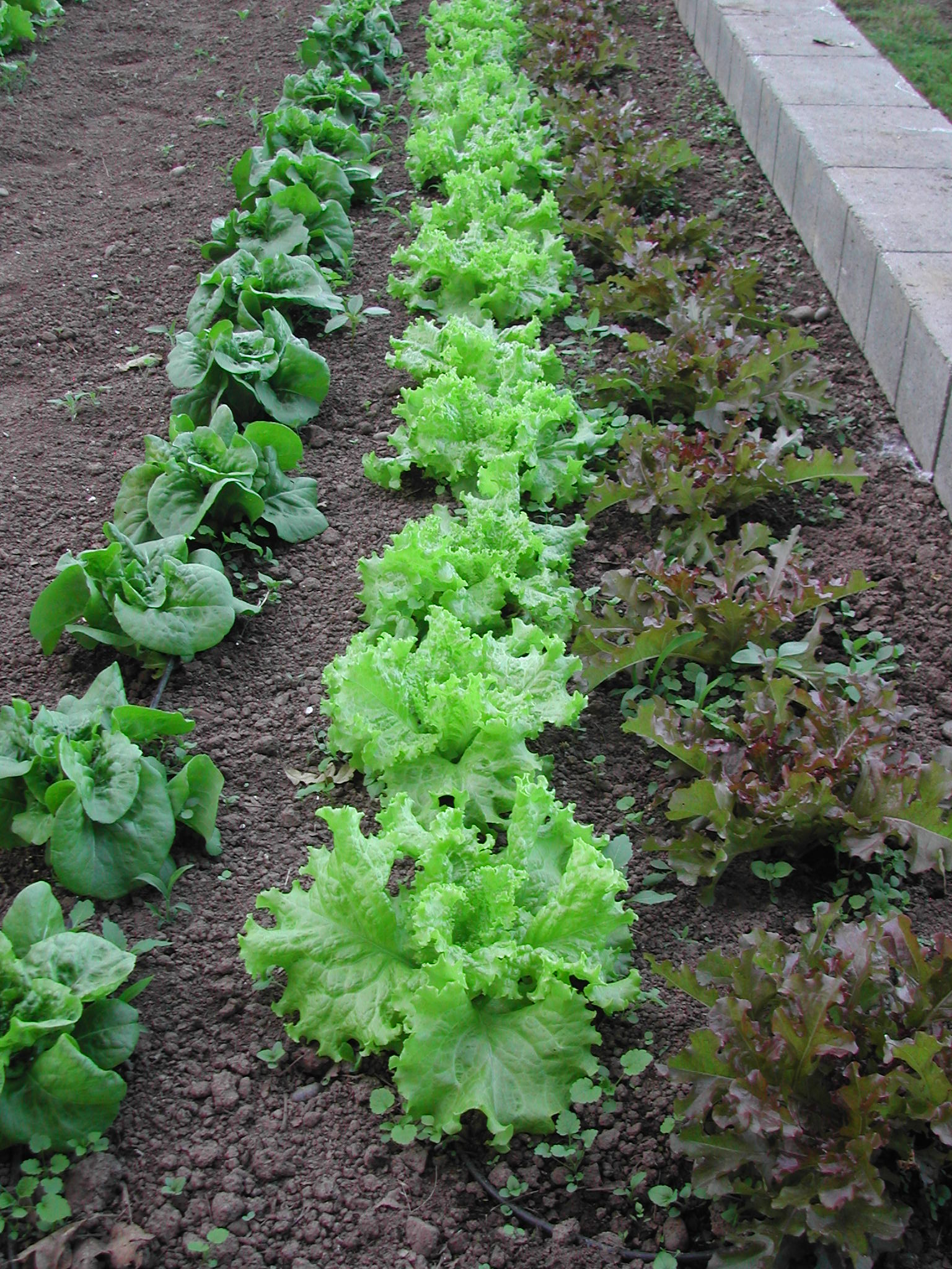 The next batch of lettuce, coming soon.