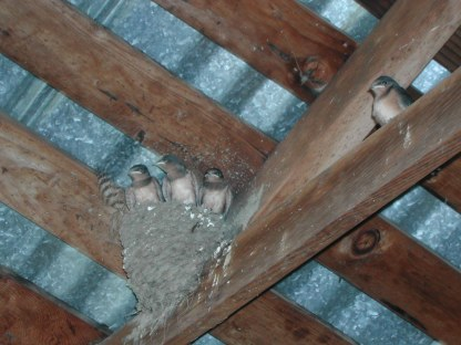 Barn swallow babies in the garage