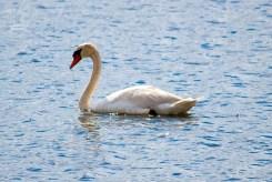 Cape Cod - Schwäne auf dem Swan Pond
