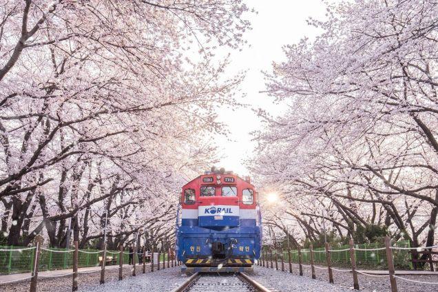 Jinhae Naval Port Cherry Blossom Festival. Cr. allowto.com
