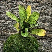 Neoregelia Bromeliad - Kamikaze x Pauciflora