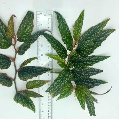 Begonia medora 'Angel Wing' cutting size