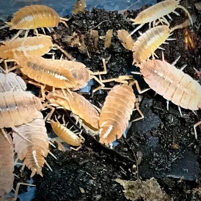 Porcellionides Purinosus Powder Orange Isopods in Canada