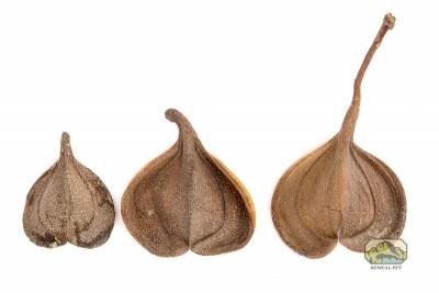newcal elephants ears seed pods