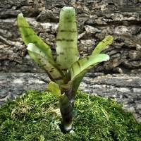 Mini Neoregelia Bromeliad - Dulce de Leche