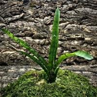 Mini Neoregelia Bromeliad - Tabby