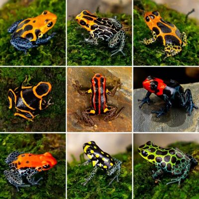 Available Ranitomeya Dart Frogs in Canada