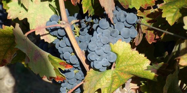 uvas del viñedo