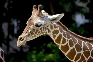 giraffe-1471010