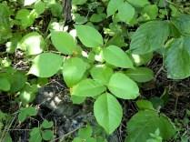 """""""Poison Ivy"""" (Kletternder Gift-Sumach) - bloß nicht anfassen!"""