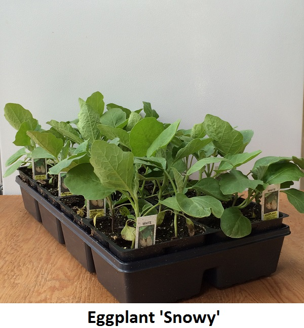 Eggplant Image