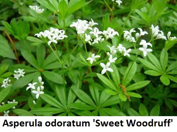 Asperula odoratum Galium