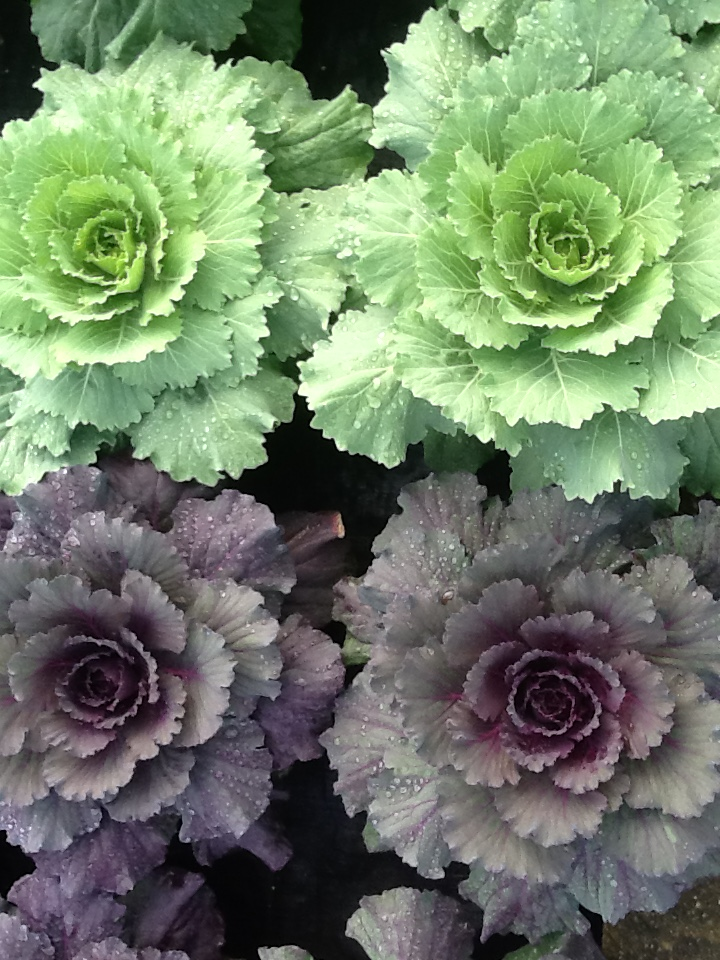 Flowering Cabbage Image