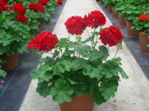 Calliope Dark Red Pot