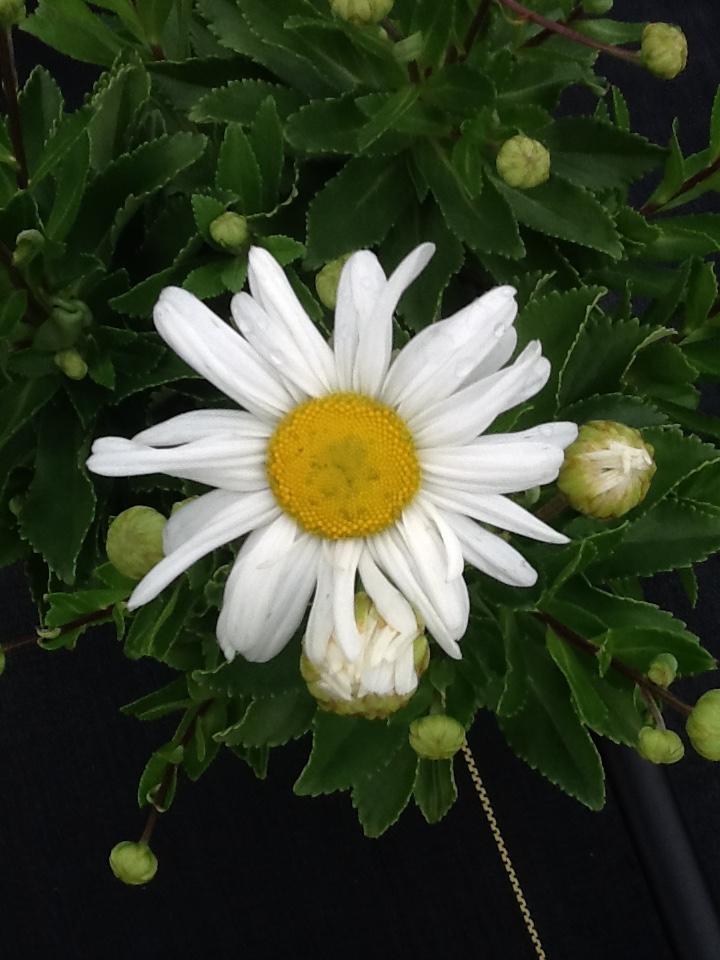 Montauk daisy Image