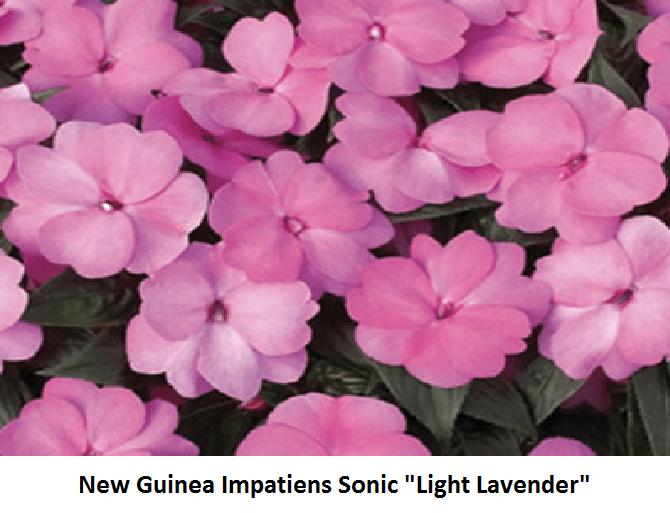 Impatiens, New Guinea Image