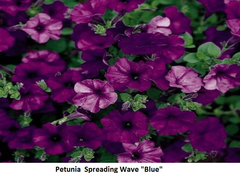 Petunia - Spreading Image