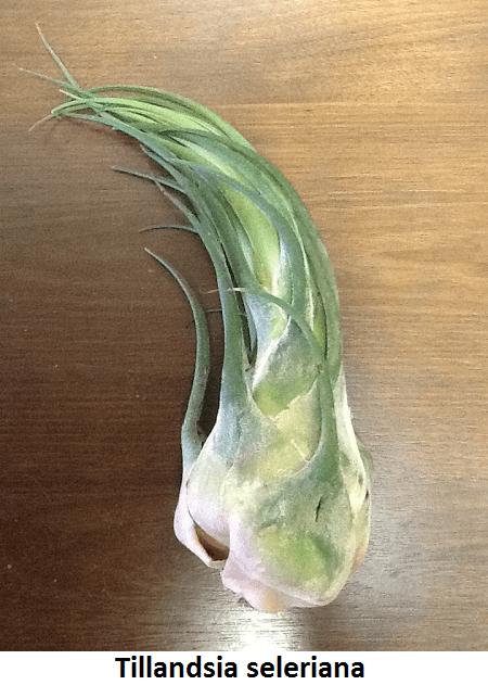Tillandsia seleriana (Shark Tooth) Image