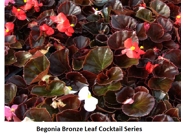 Begonia Cocktail Bronze Leaf Series Image