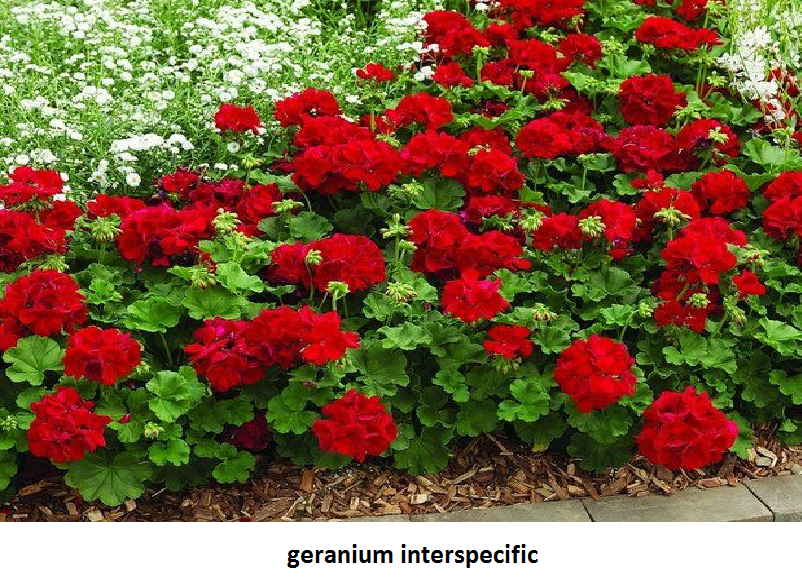 Geranium Interspecific Image