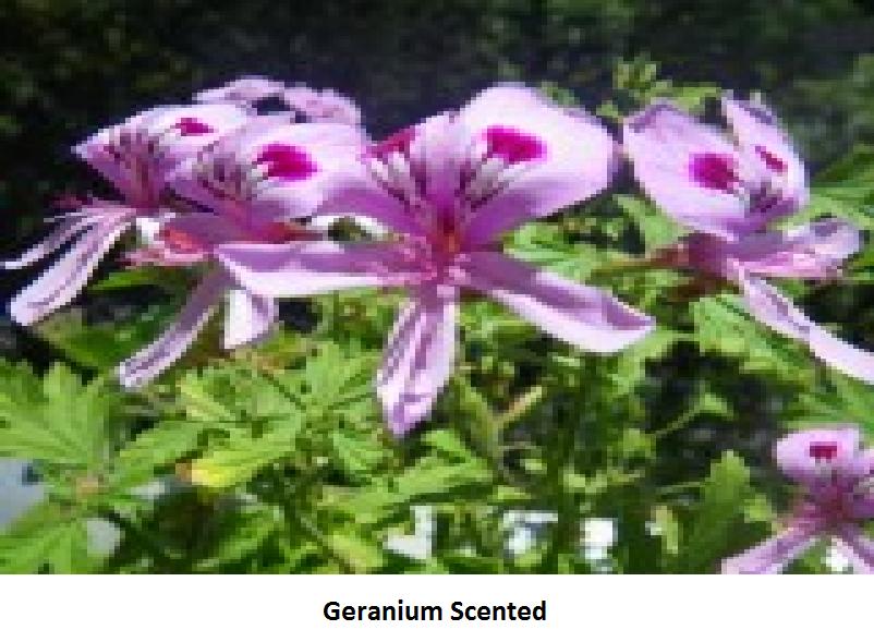 Geranium Scented Image