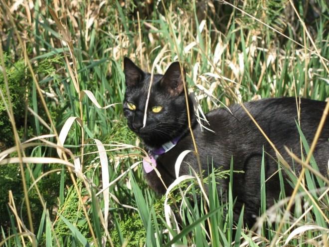 Pica in grass