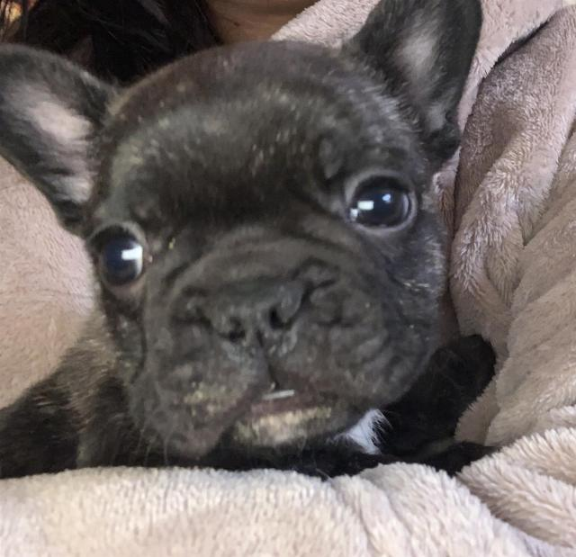 french bulldog puppy for sale | junk mail