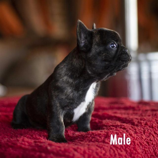 french bulldog puppies | junk mail