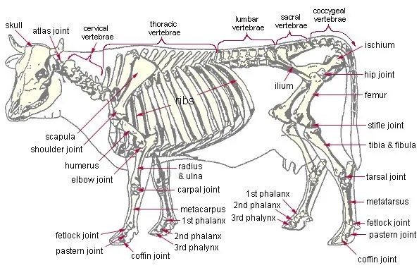 cattle bone diagram our bones do not splinter or crack - junkyard bones cattle structure diagram