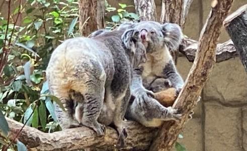 GWは東山動植物園へ!コアラの赤ちゃん、レッサーパンダ公開、日本最古の温室など話題いっぱい