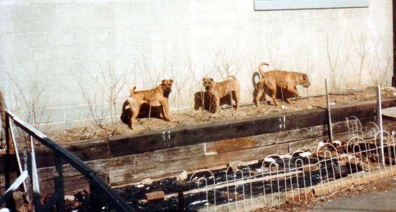 Chinese Shar-Pei are dogs help with depression