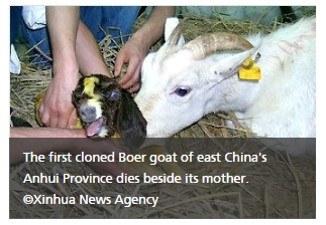Cloned boar goat