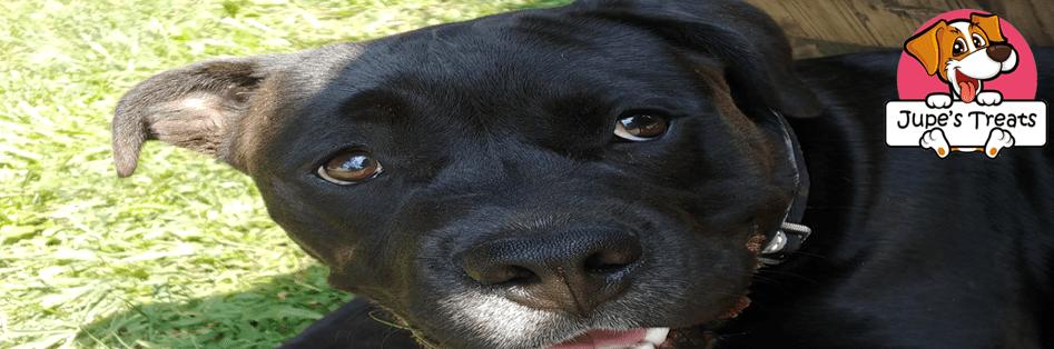 pitbull headshot