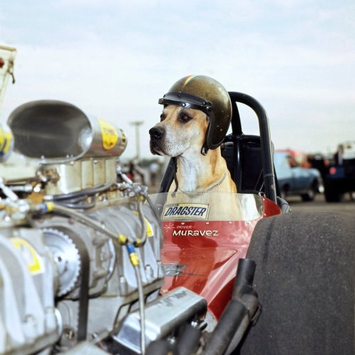 NHRA dog sitting in a dragster!