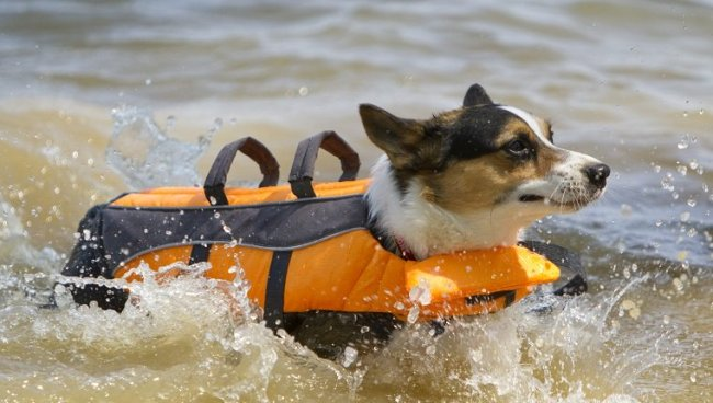 Dog swimming with life vest