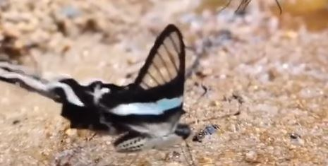 Dragon Tail Butterfly