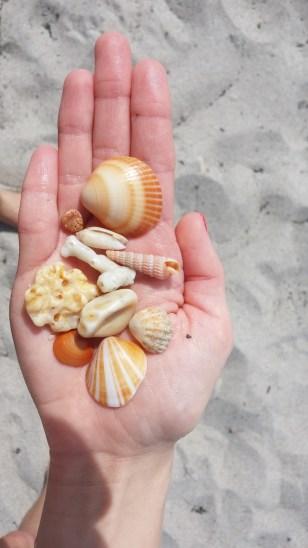 Shells found at Loggerhead Park, Juno Beach, FL.