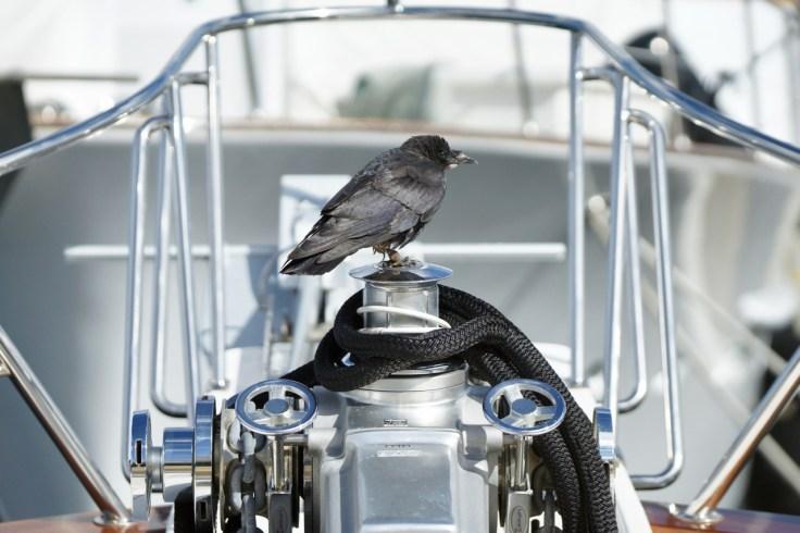 Corvus Caurinus: Crow sits atop the windlass