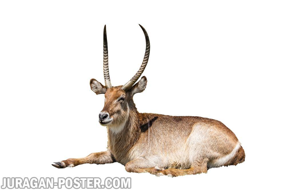 Antelope  Jual Poster di Juragan Poster