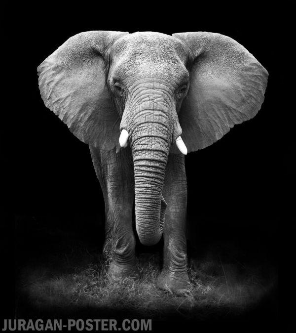 Elephant Face Black and White