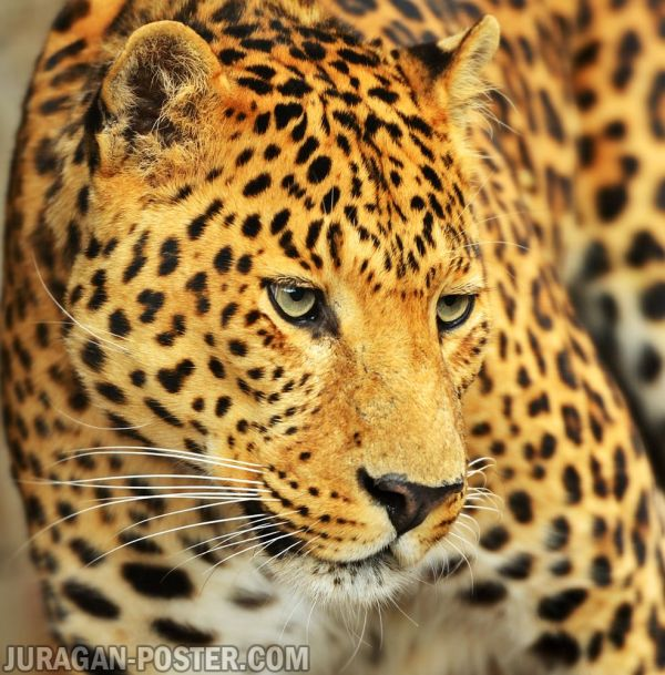 Leopard Jual Poster Di Juragan