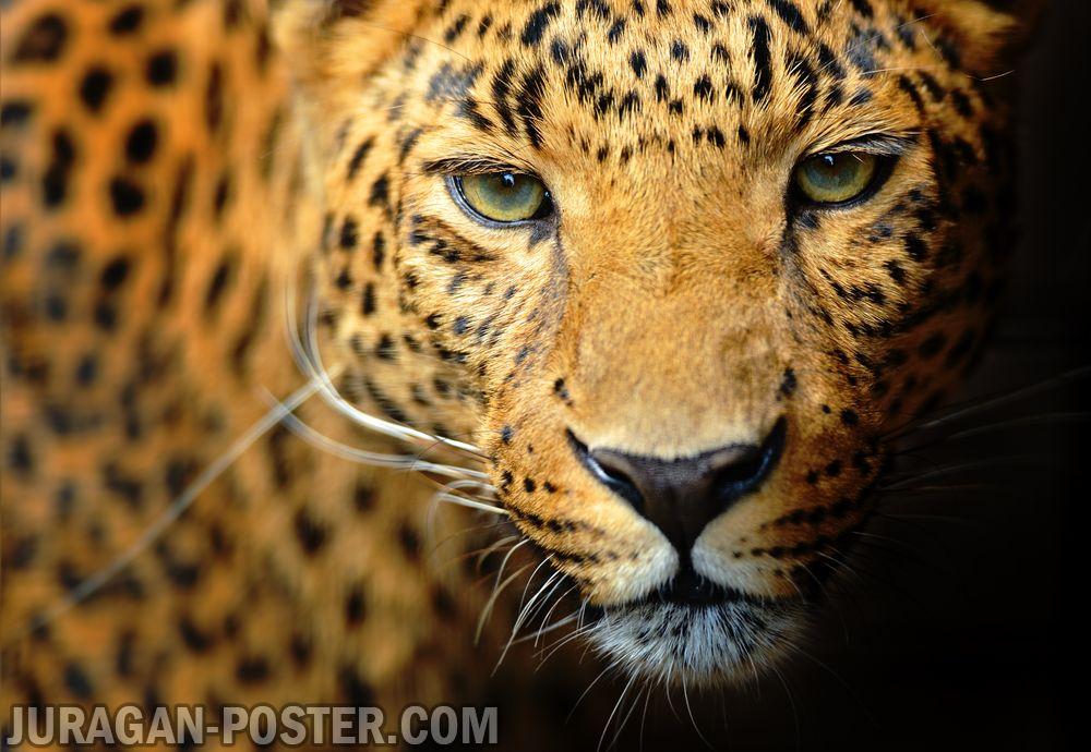 Leopard  Jual Poster di Juragan Poster