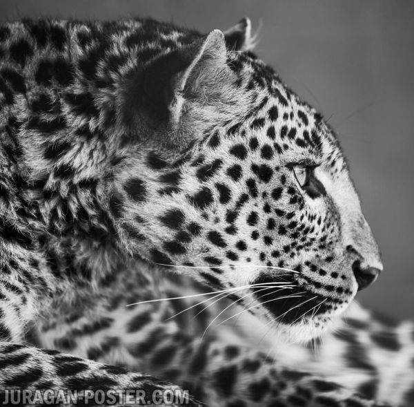 Leopard - Jual Poster Di Juragan